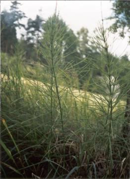 Přeslička rolní 50g / nať