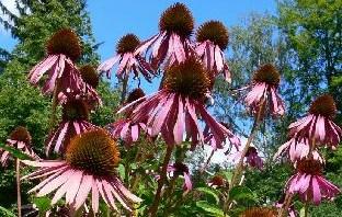 Třapatka nachová 50 g / květ