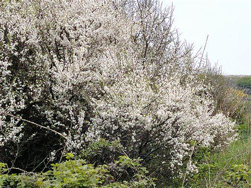 Trnka 50g / květ
