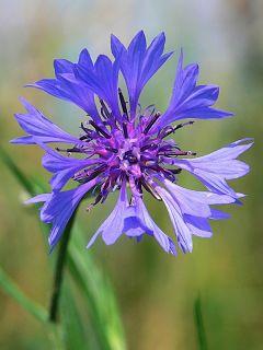 Chrpa polní květ s kalichem 50g / sypaný