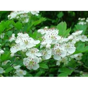 Hloh 50g -List s květem / sypaný